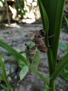 Sound of Cicadas